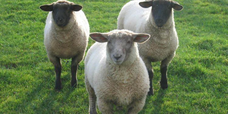 cloning of animals